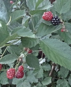 Home grown blackberries... almost ready